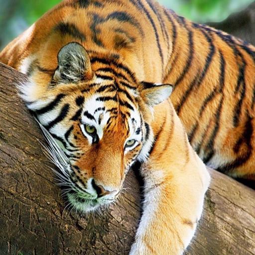 Tiger girl 🏀❤️🙃