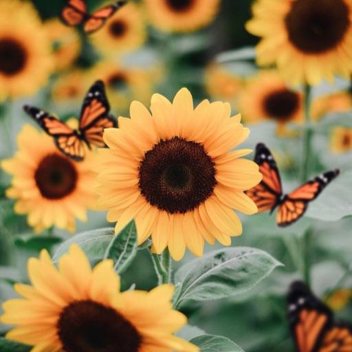 .sunflowersbeauty.