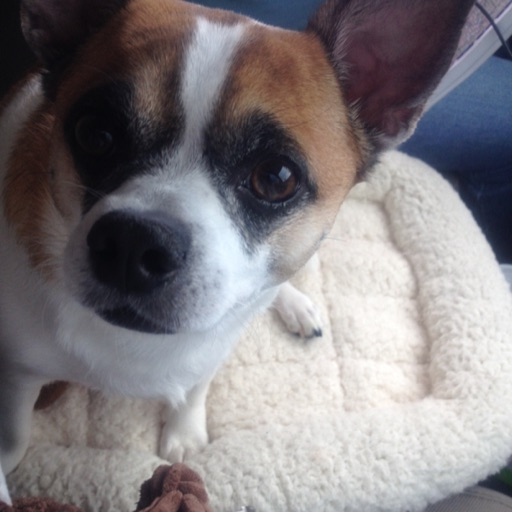 Chihuahua Mom (Brenda)