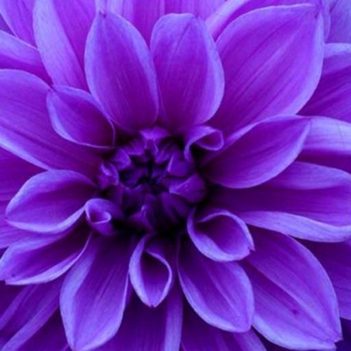 💜Aaliyah-purple 💜