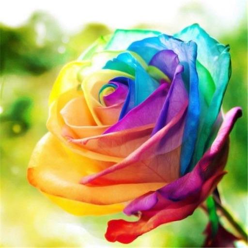 🌈 Rainbow Rosey ❤️