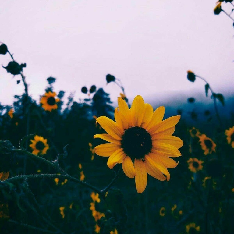 🌻Sunflower🌻