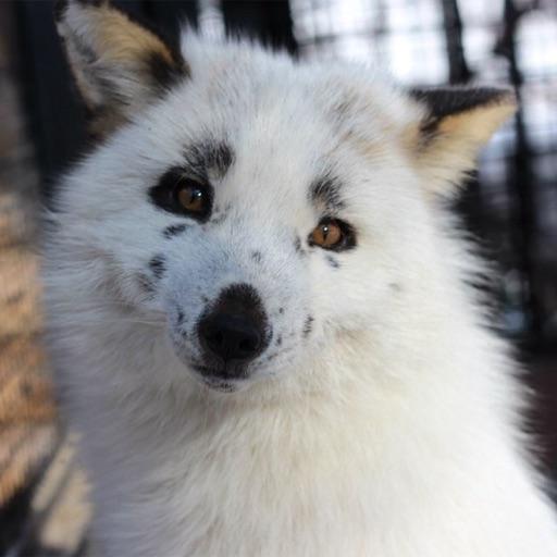 wwwwhite wolfie!