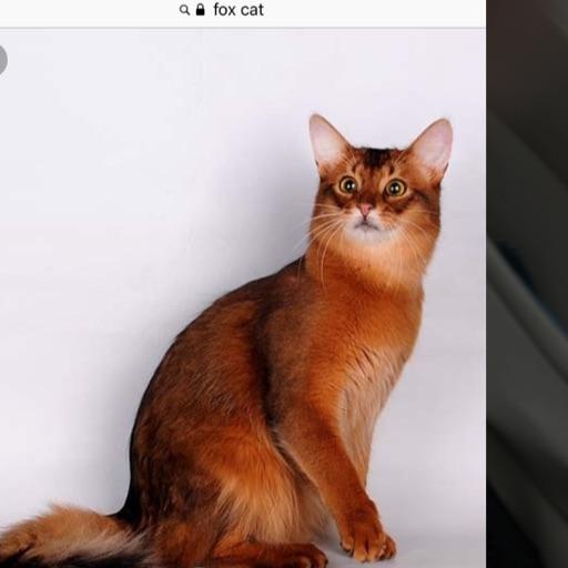 Arrowfoxcat