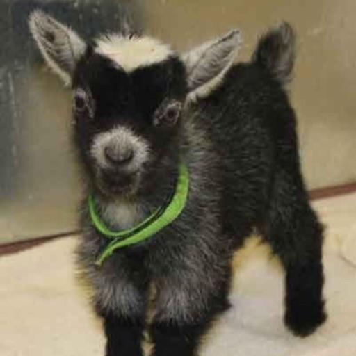 Goat Girl 🐐