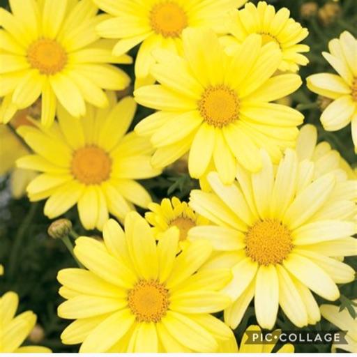 •YellowDaisy•