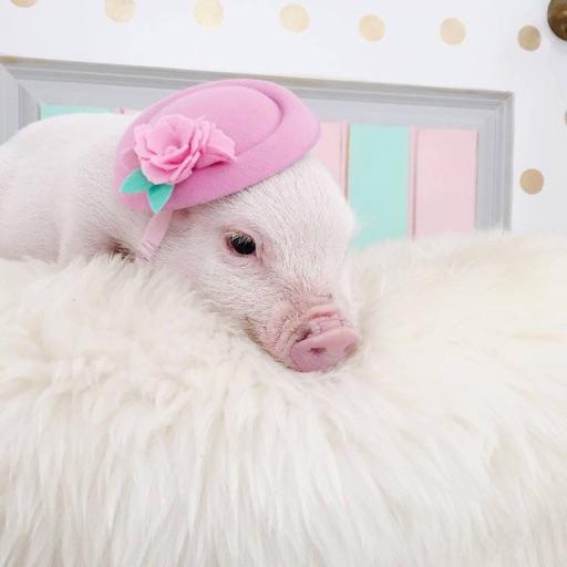 silly piggy