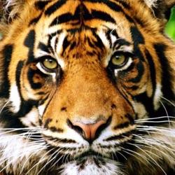 tiger0123
