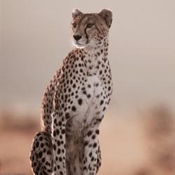 Cheetah_Town