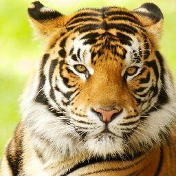 Tiger.1.2.3.4...