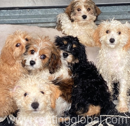 www.rentingglobal.com, renting, global, New York, NY, USA, Ready Now Cockapoo Mixed Litter