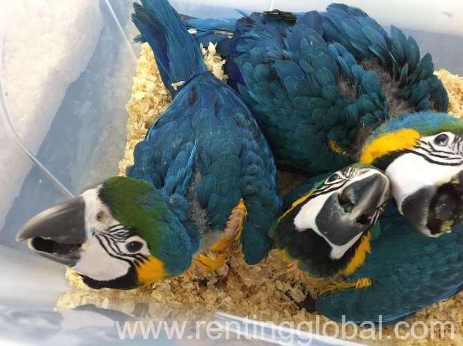 www.rentingglobal.com, renting, global, Houston, TX, USA, ADULT AND BABY MACAW PARROTS FOR SALE