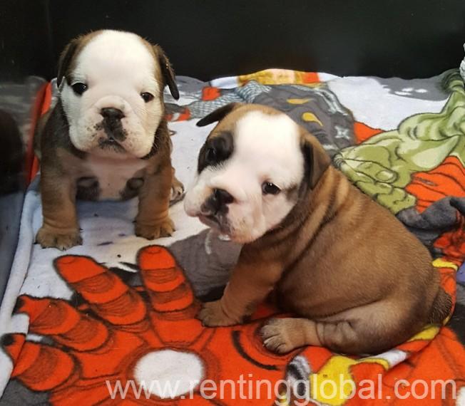 English Bulldog puppies ready now