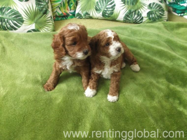 www.rentingglobal.com, renting, global, Hyderabad, Telangana, India, Beautiful Cavapoo Puppies