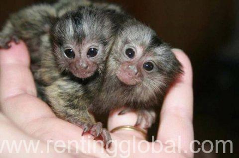 www.rentingglobal.com, renting, global, Doha, Qatar, Lovely Finger Marmoset Monkeys available