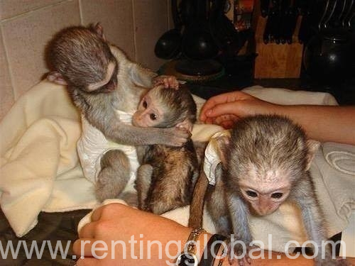 www.rentingglobal.com, renting, global, Doha, Qatar, Lovely male and female Capuchin Monkeys available