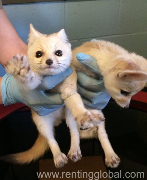 www.rentingglobal.com, renting, global, Doha, Qatar, Male and female fennec fox for sale