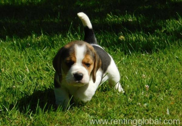www.rentingglobal.com, renting, global, United Kingdom, beautiful beagle puppies available, Beautiful Beagle puppies
