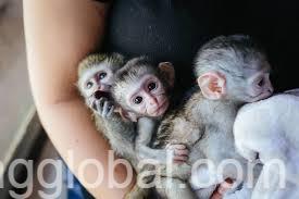www.rentingglobal.com, renting, global, Zandvoort, Netherlands, cute baby capuchin monkey for adoption
