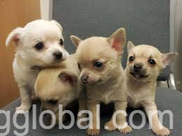 www.rentingglobal.com, renting, global, College Green, Dublin 2, Co. Dublin, Ireland, chihuahua puppies for adoption