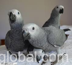 www.rentingglobal.com, renting, global, Los Angeles, CA, USA, fationate african Grey parrots male and female