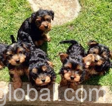 www.rentingglobal.com, renting, global, Wilburton, OK 74578, USA, yorkie puppies for sale,  Healthy Male And Female Teacup Yorkie Puppies For Sale