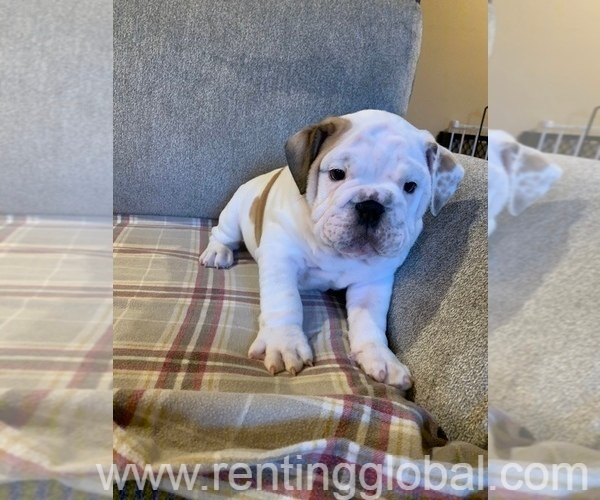 www.rentingglobal.com, renting, global, 4545 Talofa Ave, Toluca Lake, CA 91602, USA, pets,animals,puppy,dogs,sweet,generall,perfect,gaurantee,good,excellent,kittens,others, English Bulldog In Perfect Health