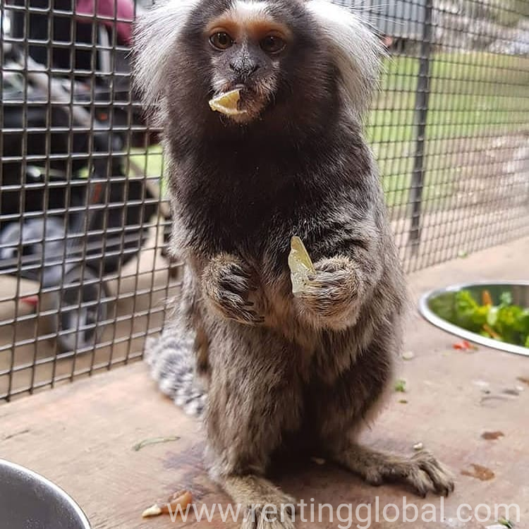 www.rentingglobal.com, renting, global, Virginia, USA, marmoset monkeys, Adorable marmoset monkeys