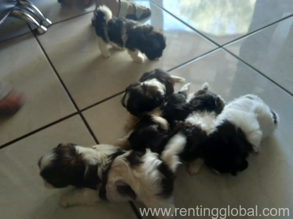 www.rentingglobal.com, renting, global, 42700 Keuruu, Finland, shih tzu  puppies ready to leave now they are stunning little puppies