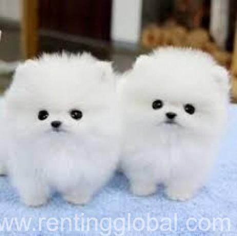 www.rentingglobal.com, renting, global, Avenue Fonsny 47B, 1060 Brussel, Belgium, 11weeks old very pretty pom babies