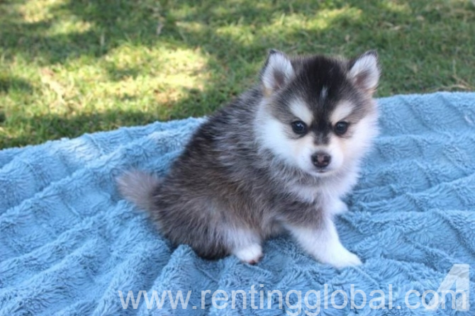 www.rentingglobal.com, renting, global, Washington, DC, USA, puppies, Lovely Pomsky Puppies Just For You And Your Family For sale