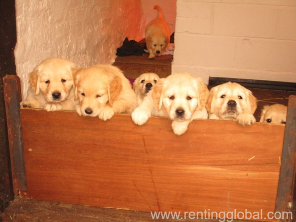 www.rentingglobal.com, renting, global, Los Angeles, CA, USA, Pedigree golden retriever puppies