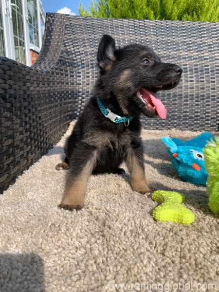 www.rentingglobal.com, renting, global, El Paso, TX, USA, german shepherd puppy for adoption,gsd for sale,puppy for sale,german shepherd puppy for sale,free puppy, german shepherd puppy for adoption