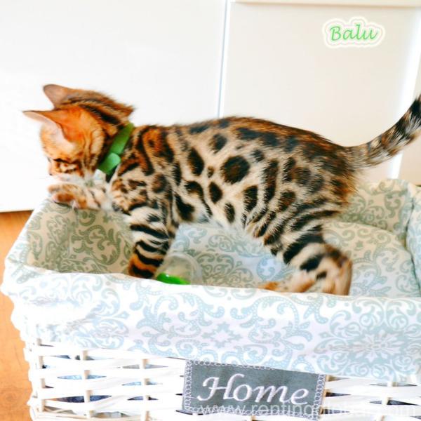 www.rentingglobal.com, renting, global, Germany, Purebred Bengal kitten with pedigree