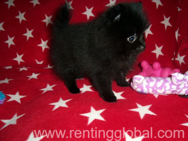 www.rentingglobal.com, renting, global, New Jersey, USA, pomeranian puppies for sale. akc registered puppies for sale. dogs and puppies for sale in usa., Stunning black pomeranian puppies looking for their forever loving home