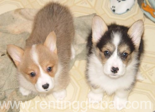 www.rentingglobal.com, renting, global, Florida, USA, welsh corgi puppies for sale. akc puppies for sale. dogs and puppies for sale in usa., Tri color and Sable Pembroke Welsh Corgi puppies for good homes