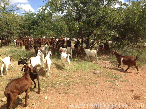 www.rentingglobal.com, renting, global, Eastern Cape, South Africa, cows,cattle,heifers,bulls,sheep,goats,does,buck,lambs,ewes,chickens,ostriches,pigs,chickens, South African Boer goats suppliers