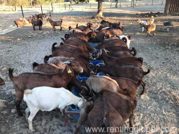 www.rentingglobal.com, renting, global, Eastern Cape, South Africa, cows,cattle,heifers,bulls,sheep,goats,does,buck,lambs,ewes,chickens,ostriches,pigs,chickens, Boer and Kalahari goats for sale