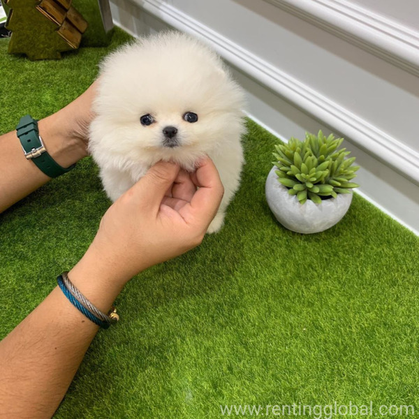 www.rentingglobal.com, renting, global, Idaho Falls, ID, USA, Awesome Teacup pomeranian puppies ready now