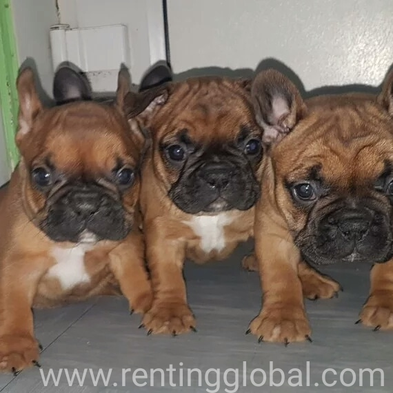 www.rentingglobal.com, renting, global, San Francisco, CA, USA, available dm or asap +16619276387, Frenchies bulldogs available