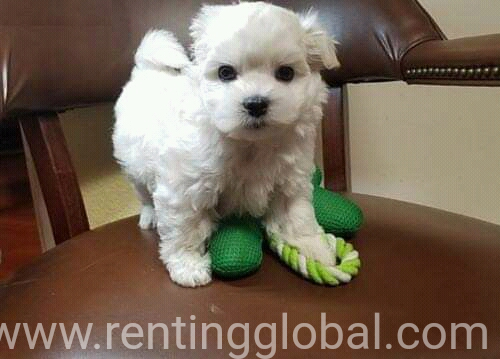 www.rentingglobal.com, renting, global, Colorado Springs, CO, USA, Maltese puppies