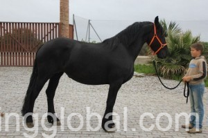 www.rentingglobal.com, renting, global, California, USA, Beautiful Friesian Horses For Adoption