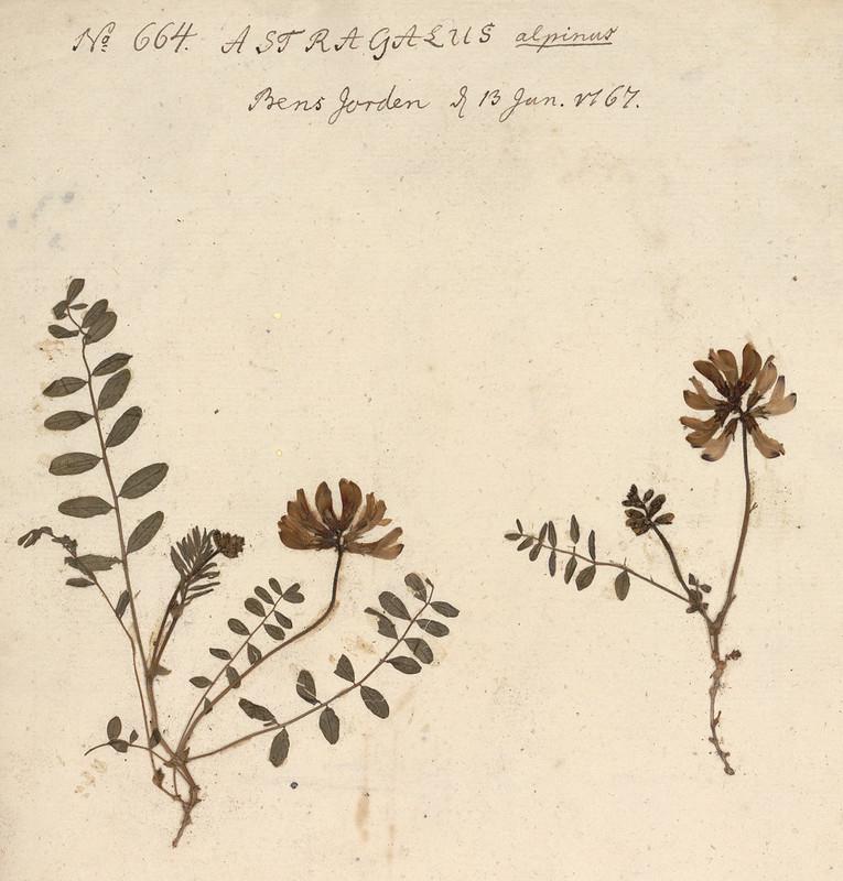 Nordlig setermjelt (Astragalus alpinus/ ssp. arcticus) fra Tromsø kommune. Samlet inn av biskop Johan Ernst Gunnerus 13.6.1767.  Foto: NTNU Vitenskapsmuseet