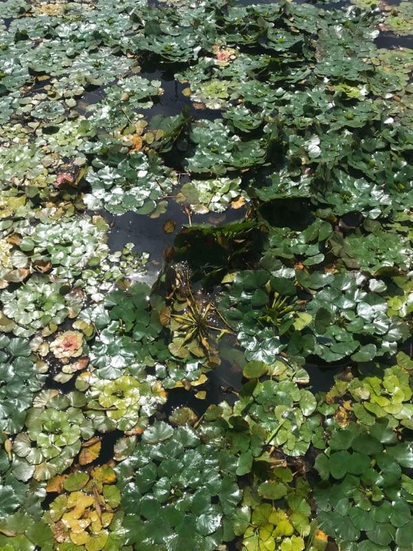 ババタクさんの真似したら釣れた!前川の浮草攻め!の画像