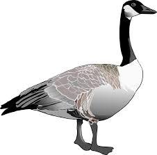 One goose