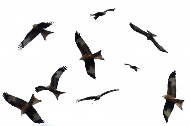 A flock of eagles flying around together.