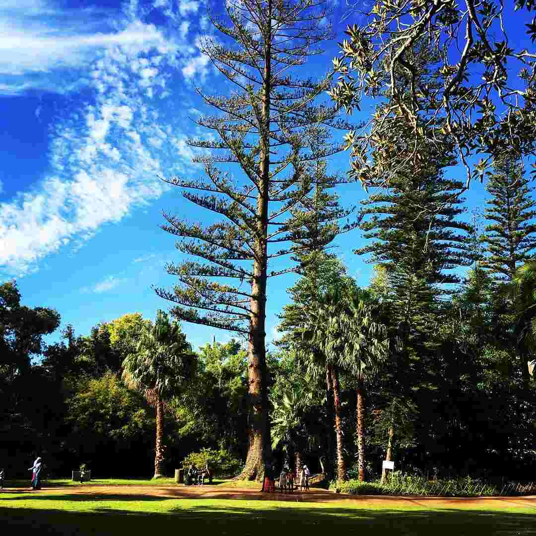 View of a lawn with an array of very tall trees against blue sky. Some people walk on the pathway i the shade of the trees
