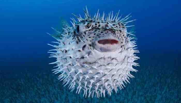 Fakta, Nyawa Satu Keluarga Lenyap Gara-gara Ikan Buntal