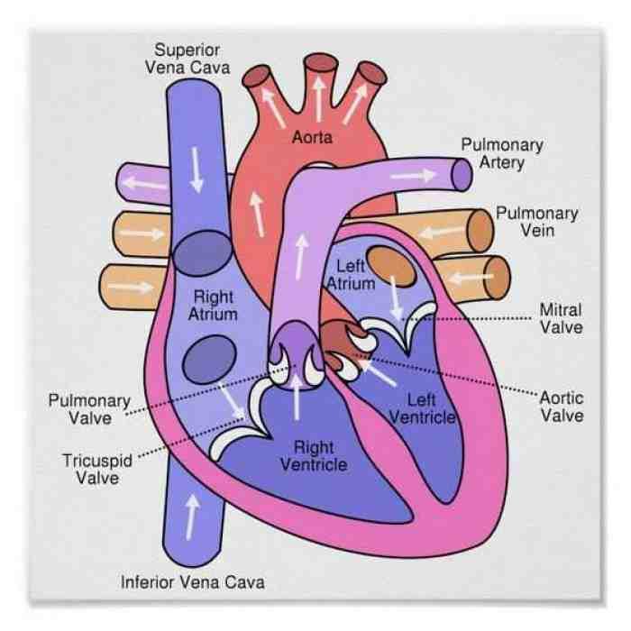 Mengenal Sistem Peredaran Darah pada Manusia
