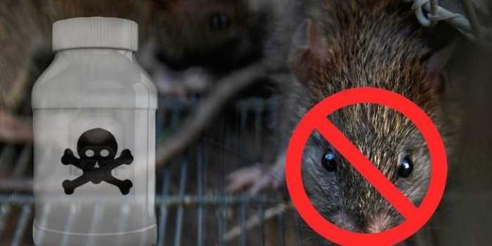 2 Trik Manjur Usir Tikus di Rumah, Selain Pakai Racun!